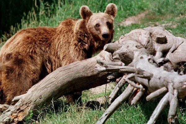 Des ours de ce type ravagent des troupeaux ariégeois. Mais les agents de l'ONCFS, menacés par les anti-ours, n'assurent plus de constats de dégâts jusqu'à nouvel ordre.