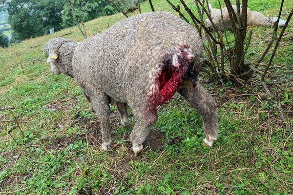 En plus des brebis tuées par les loups, d'autres ont été grièvement blessées.