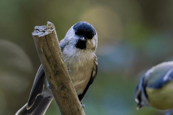 La mésange parmi les oiseaux en voie de disparition