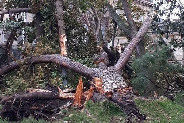 Le pin parasol à terre, l'un des plus emblématiques des arbres du Jardin Public à Bordeaux. La tempête du 12 décembre a eu raison de sa majesté.