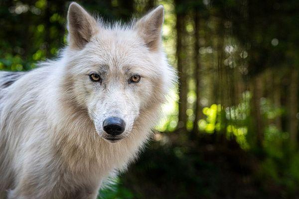 Ce loup blanc est né dans un parc en Belgique et il a été transféré au parc Alpha avec deux de ses congénères.