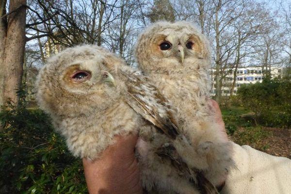 Ces deux bébés chouette hulotte ont été découverts mardi 2 mars 2021 à Sotteville-les-Rouen.