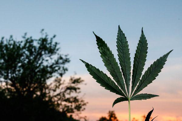 La feuille de cannabis a des vertus thérapeutiques. Certains souhaitent que la Creuse puisse obtenir une dérogation afin de pouvoir transformer le chanvre, qu'elle produit déjà  pour sa fibre qui fait un bon isolant thermique, en cannabis thérapeutique ce qui pourrait se révéler être très rémunérateur et créer de nombreux emplois dans un département sinistré économiquement.