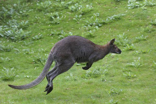 Le Wallaby de Benett peut être vu dans de nombreux parcs zoologiques français