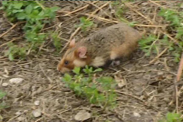 Un grand hamster d'Alsace en liberté