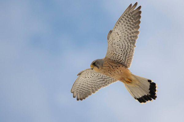 Un faucon crécerelle mâle fait le vol du Saint-Esprit