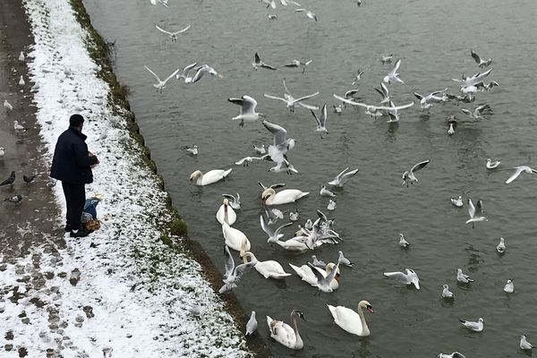 Scène de nourrissage captée en janvier 2021 sur le canal à Schiltigheim.