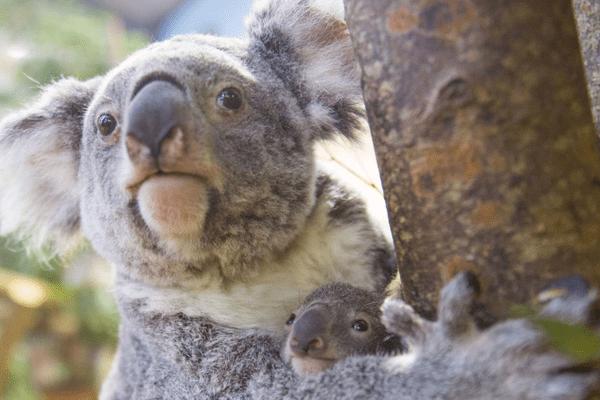 Tinaroo et sa maman, koala du Queensland.