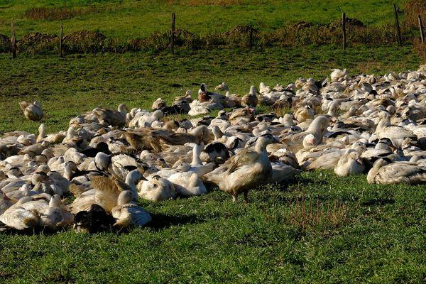 Un élevage de canards gras à Castelnau d'Auzan, dans le Gers, en 2017.