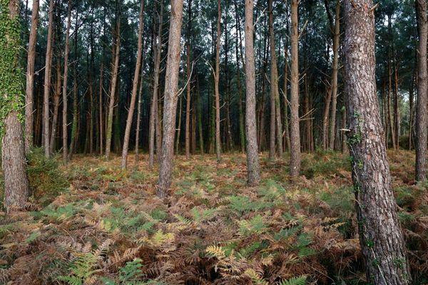 Les forêts de pins couvrent près d'un million d'hectares de superficie dans les Landes.