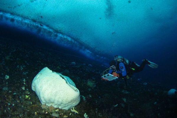 Éponge géante antarctique