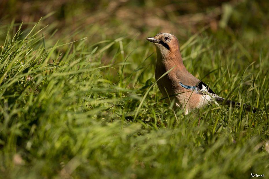 Une migration exceptionnelle de Geais des chênes traverse la Franche-Comté