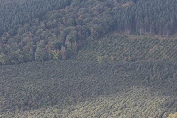 Des arbres bien alignés, d'une même essence, d'un même âge. Un appauvrissement génétique, une uniformisation des paysages, une catastrophe pour la biodiversité.