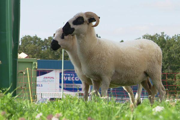 Les brebis broutent depuis quelques mois l'herbe d'une entreprise de Cosne-Cours-sur-Loire (Nièvre).