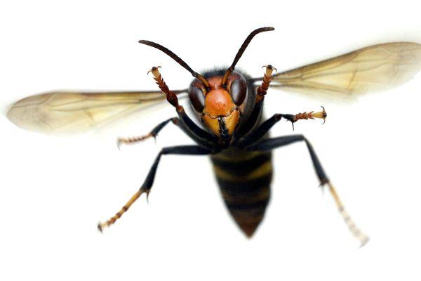 Le frelon asiatique, vespa velutina, venu de Chine, a été introduit fortuitement en France au début des années 2000.