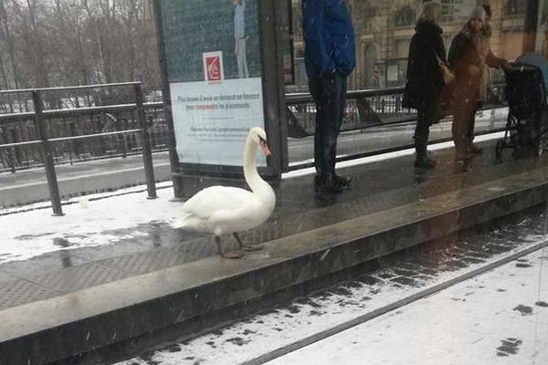 Un cygne à l'arrêt Gallia du tram de Strasbourg : l'image a fait sourire