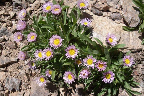 L'Erigeron Paolii, une des 132 espèces endémiques présentées dans L'Atlas biogéographique de la flore corse.