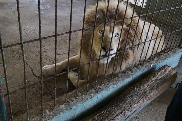Le lion saisi à Marigny, Deux-Sèvres