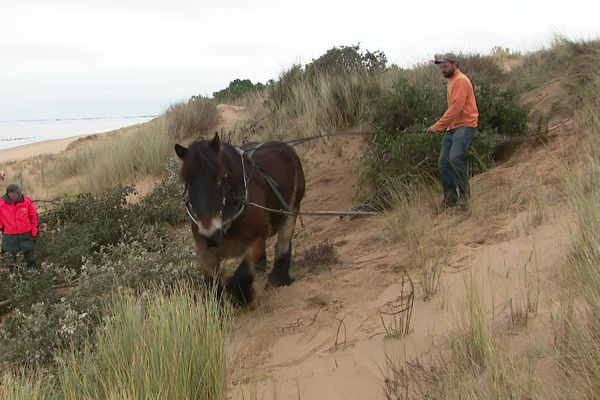 Le cheval permet de limiter l'impact sur l'environnement du travail de consolidation des dunes.