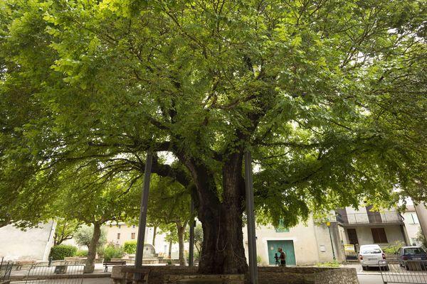 L'orme de Villesèquelande, dans l'Aude.
