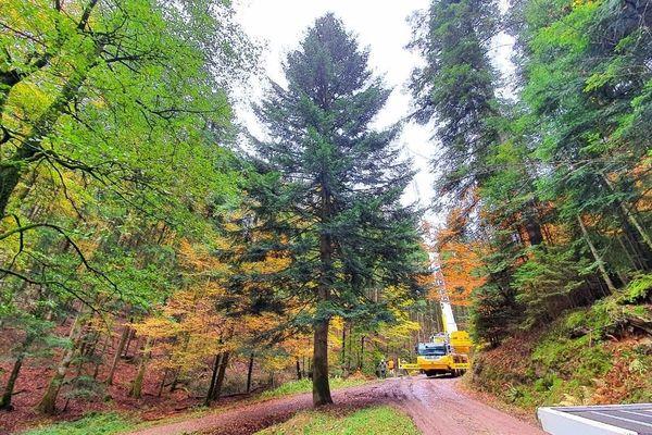 Le grand sapin sélectionné mesure 30 mètres de haut, mais quand il trônera, illuminé et décoré, place Kléber, il en fera trois de moins. Il grandit depuis 60 ans en forêt de Walscheid (Moselle).