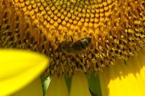 Les abeilles qui butinent les plantes traitées sont infectées