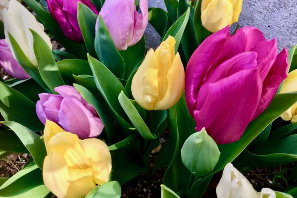 Les tulipes font leur apparition au jardin avec le printemps