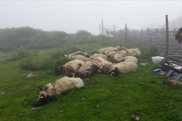 Des éleveurs se sont rendus, ce matin à Cauterets, sur les lieux de l'attaque où une quinzaine de bêtes ont été tuées.