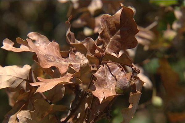 Le chêne pédonculé est l'essence la plus touchée par la sécheresse