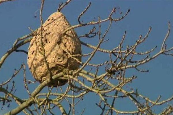 C'est le premier nid de frelons asiatiques repéré dans le Calvados. Il est localisé dans la commune d'Amblie, au nord de Caen.