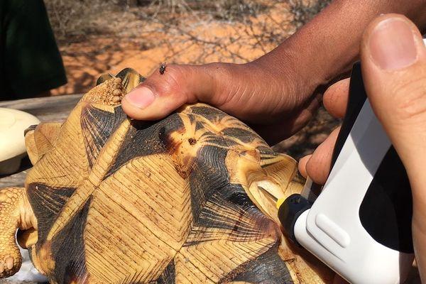 Implantation de transpondeurs, des puces, sous la carapace des reptiles.