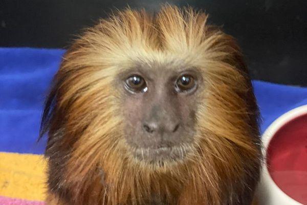 Le petit primate a été enlevé à Paris, pour être retrouvé à Marseille un an plustard.