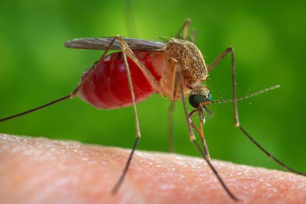 Le moustique du genre Culex, corps jaune et marron, transmet le virus West Nile qui peut provoquer de la fièvre, des douleurs et des maux de tête.