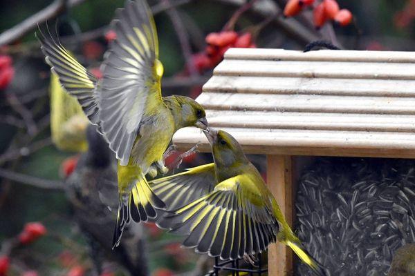 La Ligue de protection des oiseaux propose de profiter du confinement lié à l'épidémie de Covid-19 pour apprendre à mieux connaître les oiseaux.