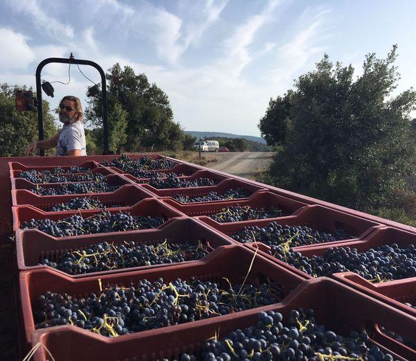 Le vigneron Gilles Contrepois lors des vendanges en vin naturel dans les Corbières, en septembre 2019.