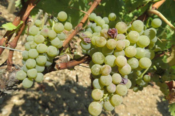 Les viticulteurs vont-ils pouvoir recruter assez de main-d'oeuvre alors que le temps des vendanges approche ?