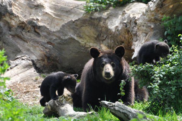 Les oursons doivent attendre plusieurs mois avant de pouvoir commencer à explorer leur environnement.