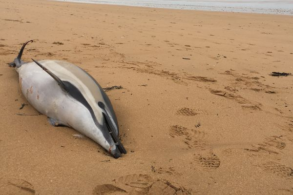 Un dauphin commun échoué sur une plage de Saint Jean de Monts.
