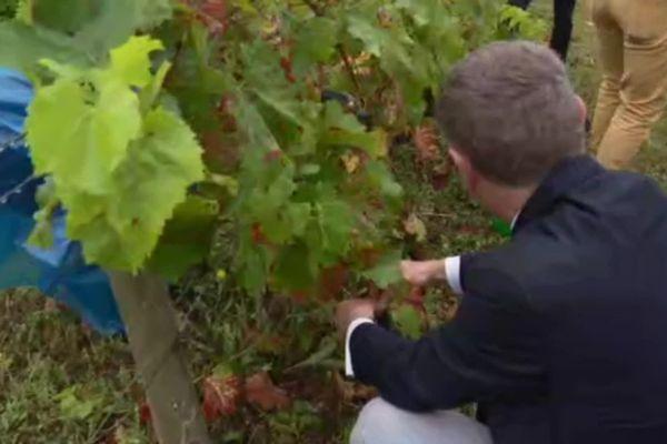 Philippe Juvin a pris le sécateur ce samedi alors qu'il était dans les vignes. Le candidat à la primaire à droite est l'invité des Républicains en Charente-Maritime.