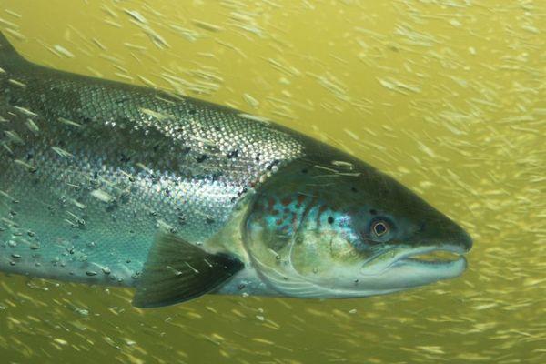 Salmo salar, souche unique du saumon sauvage de Loire.