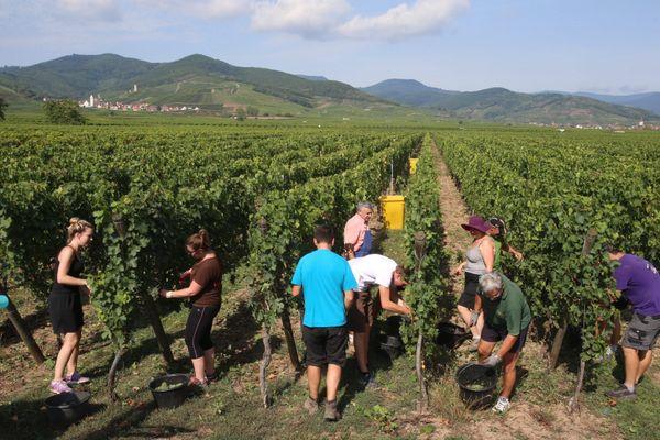 Les vendanges 2020 débutent plus tôt que d'habitude en Alsace avec une ouverture fixée le 24 août pour les crémants.