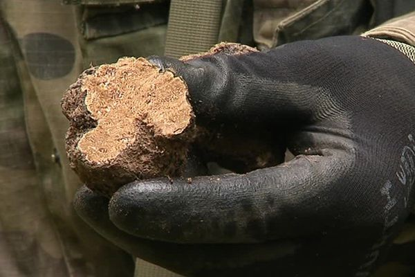 Dans la Marne, la production de truffe d'Automne est modeste, entre 200 et 300 kilos les bonnes années.