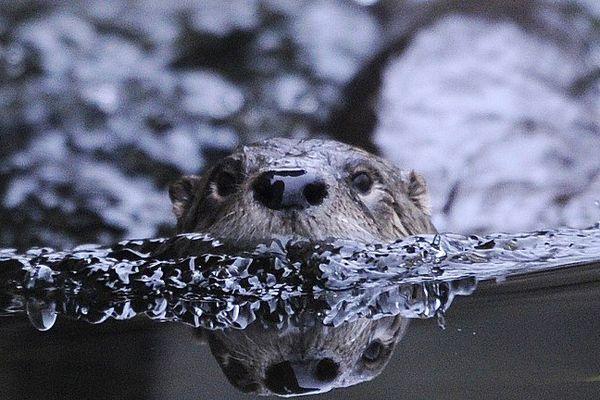 La loutre prend ses aises dans la zone humide du lac d'Aydat (63)