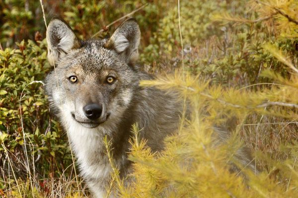 Loup dans le massif des écrins (05)