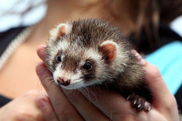 Un député et ancien vétérinaire des Alpes-Maritimes invite les propriétaires de furets à la précaution à cause du Covid.