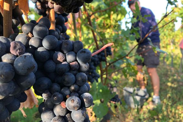 Pinot noir au menu des vendanges ce lundi matin au domaine Stentz, ici sur une parcelle du ban viticole de Colmar.