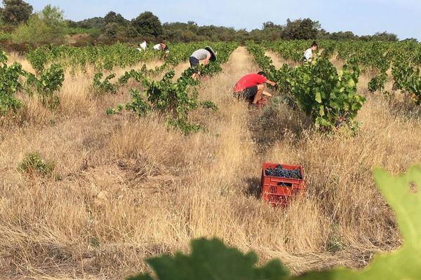 """Chez les vignerons qui travaillent en vin naturel, chaque grappe est cueillie à la main comme ici, à Cascastel des Corbières dans l'Aude. Plantée en 2003, cette vigne pousse en """"gobelet"""", une taille méditerranéenne destinée à protéger les grappes du soleil."""