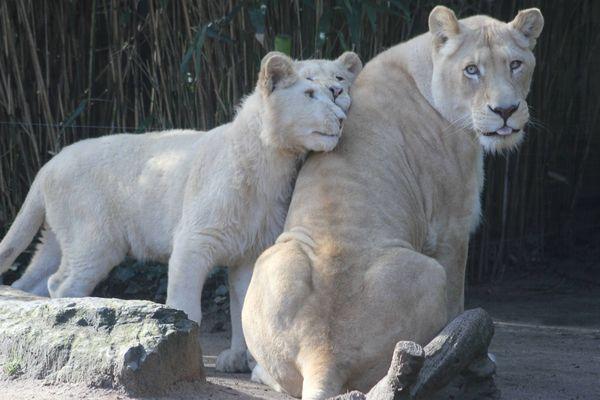 Dans les lodges du zoo, on peut s'endormir auprès des lions blancs.