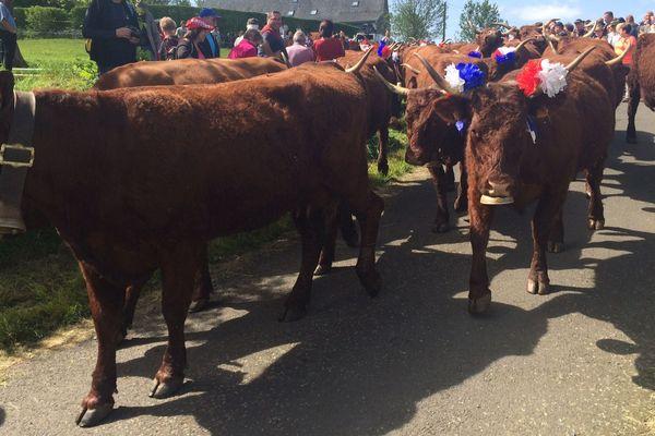 Traditionnel défilé des vaches à robe rouge avant la montée à l'estive à Allanche dans le Cantal