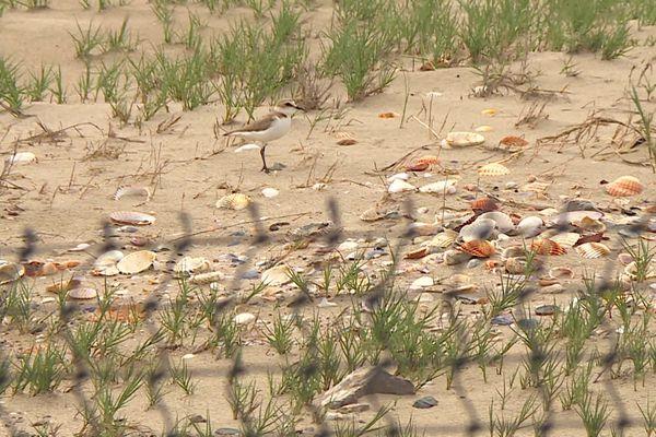 Une sterne s'apprête à pondre dans le sable sur la plage des châlets à Gruissan dans l'Aude.